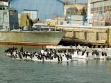kormorany na lodzie w kołobrzeskim porcie